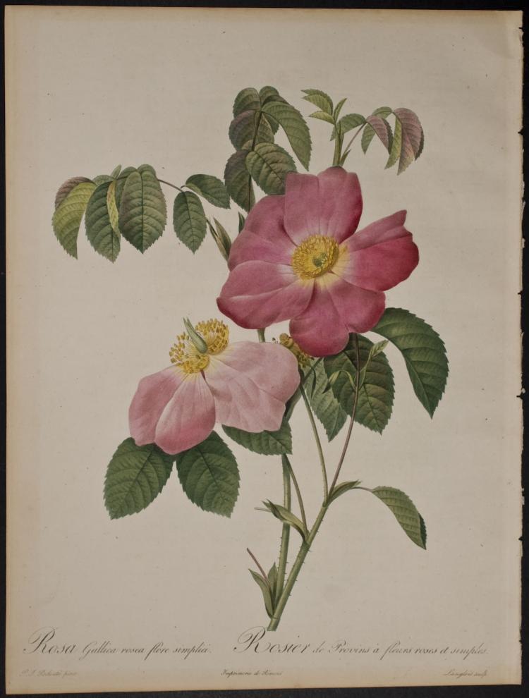 Redoute - Rosa Gallica rosea flore simplici