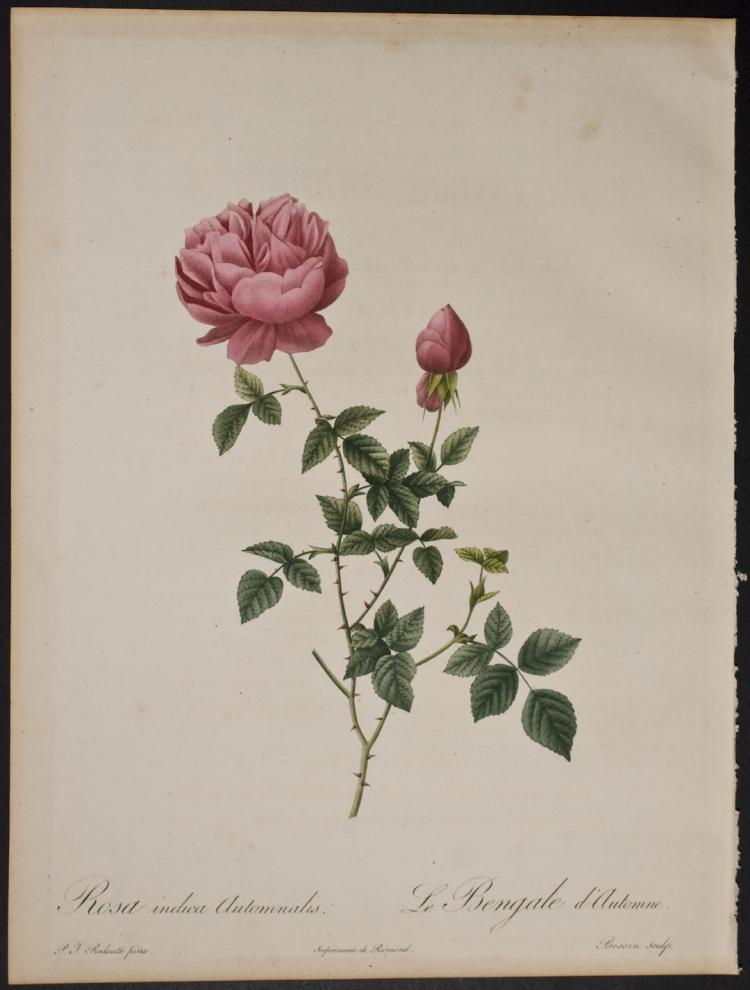 Redoute - Rosa indica Automnalis