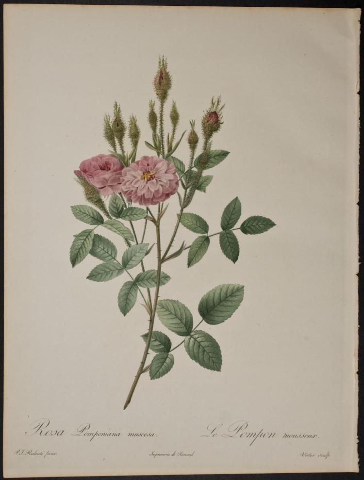 Redoute - Rosa Pomponiana muscosa
