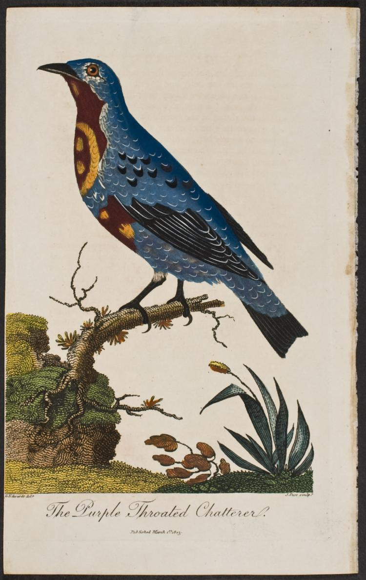 Linnaeus - Purple Throated Chatterer