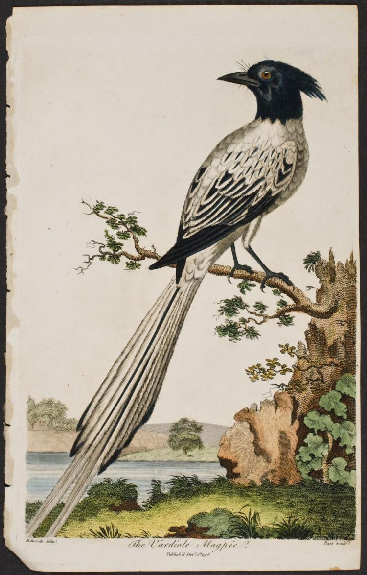 Linnaeus - Magpie