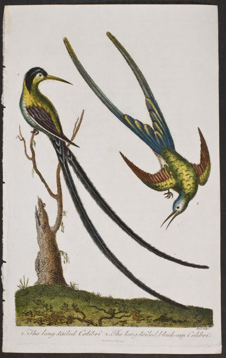 Linnaeus - Hummingbird or Colibri