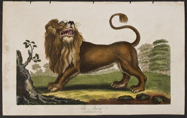 Linnaeus - Lion