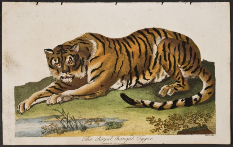 Linnaeus - Royal Bengal Tiger
