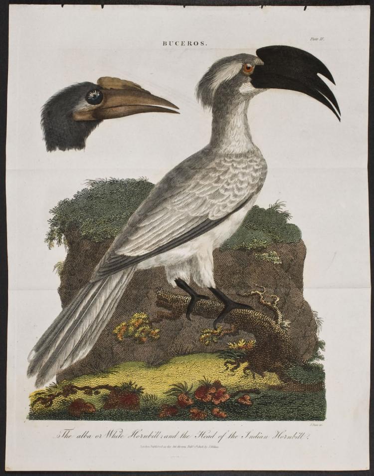 Linnaeus - White Hornbill & Head of Indian Hornbill