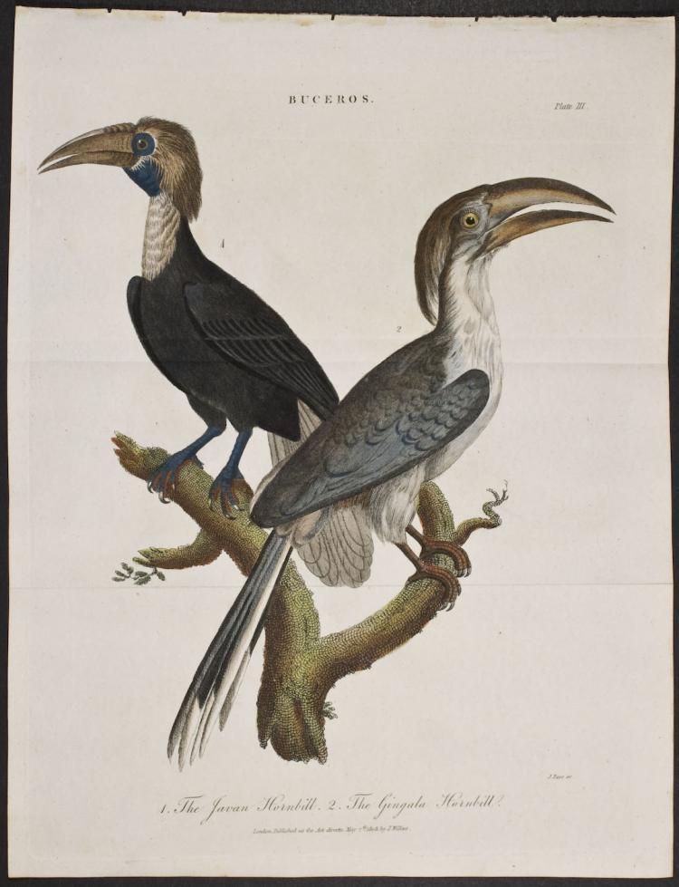 Linnaeus - Javan Hornbill & Gingala Hornbill