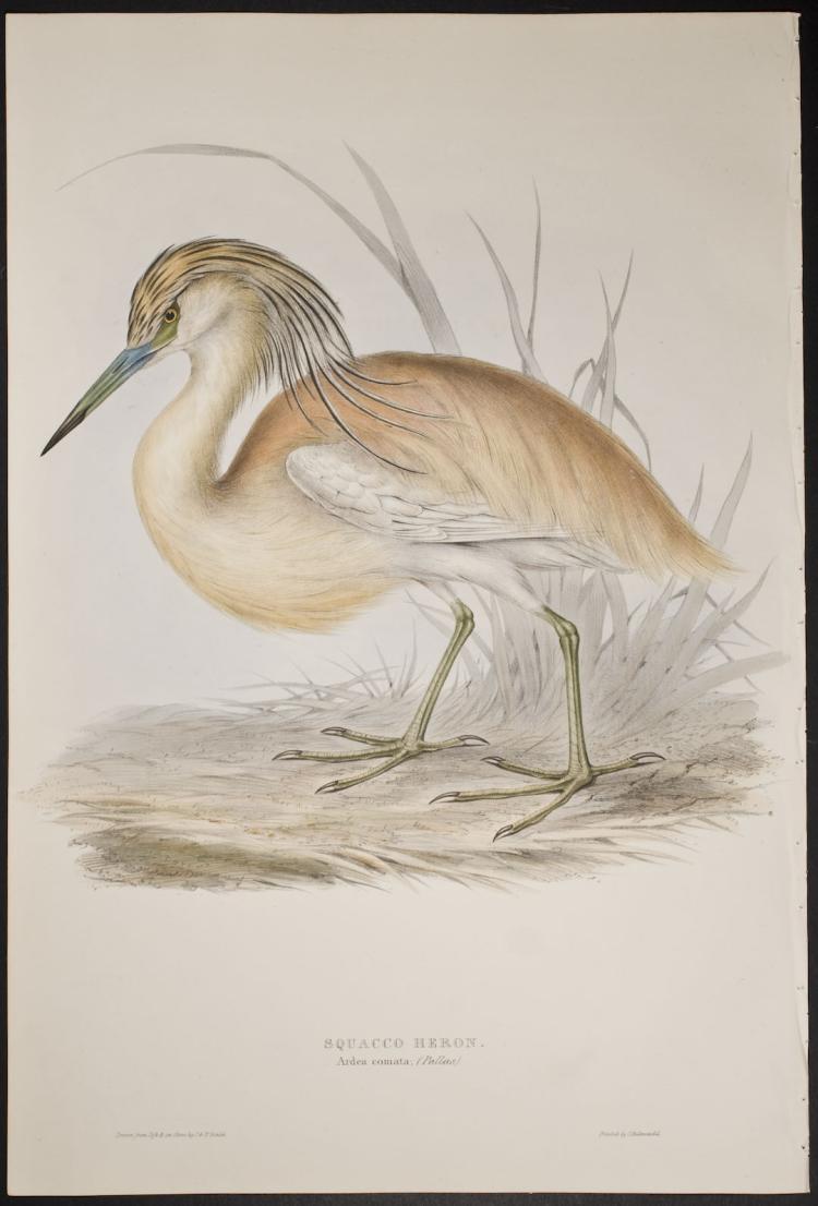 Gould - Squacco Heron