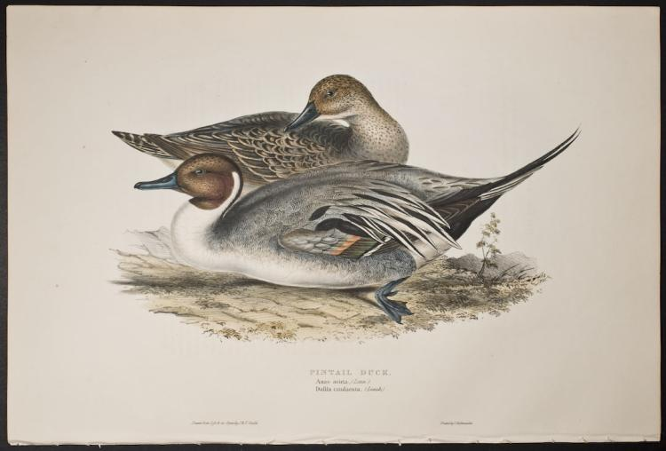 Gould - Pintail Duck