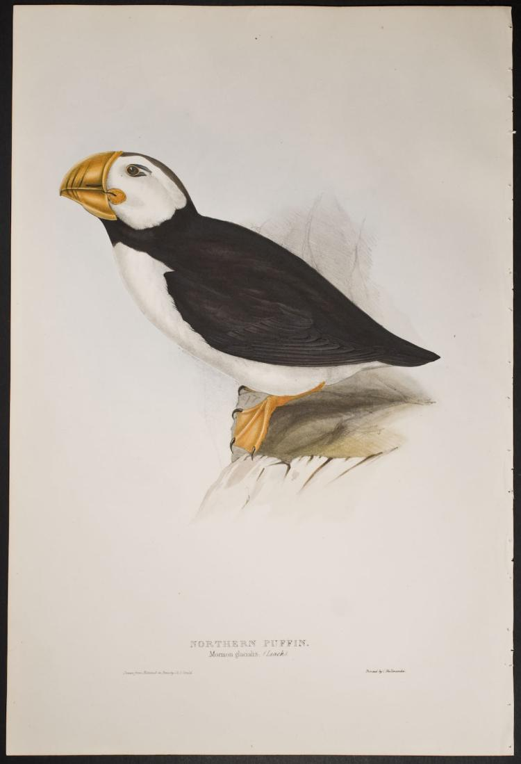 Gould - Northern Puffin