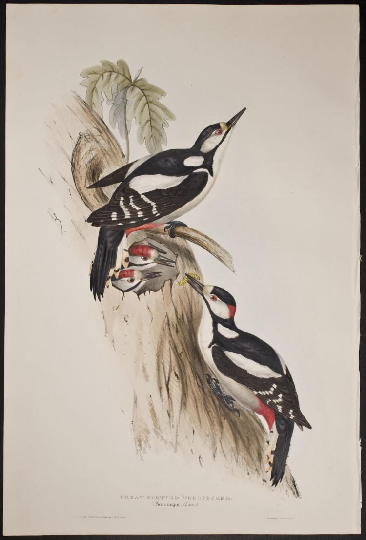 Gould - Great Spotted Woodpecker