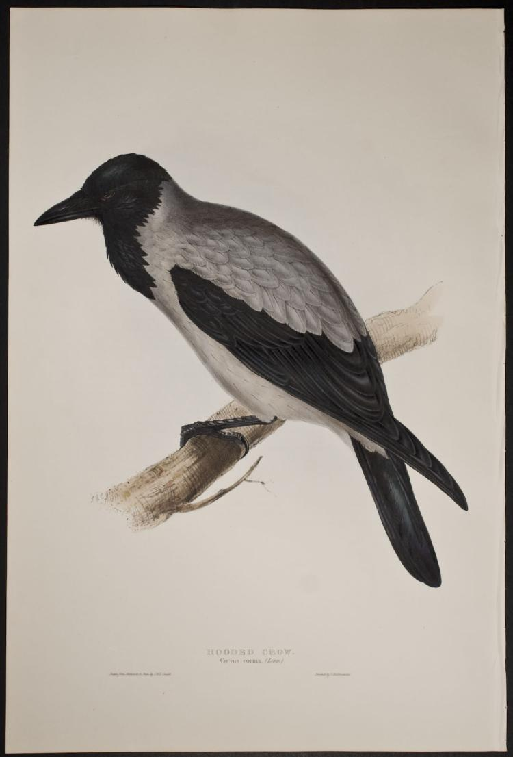 Gould - Hooded Crow