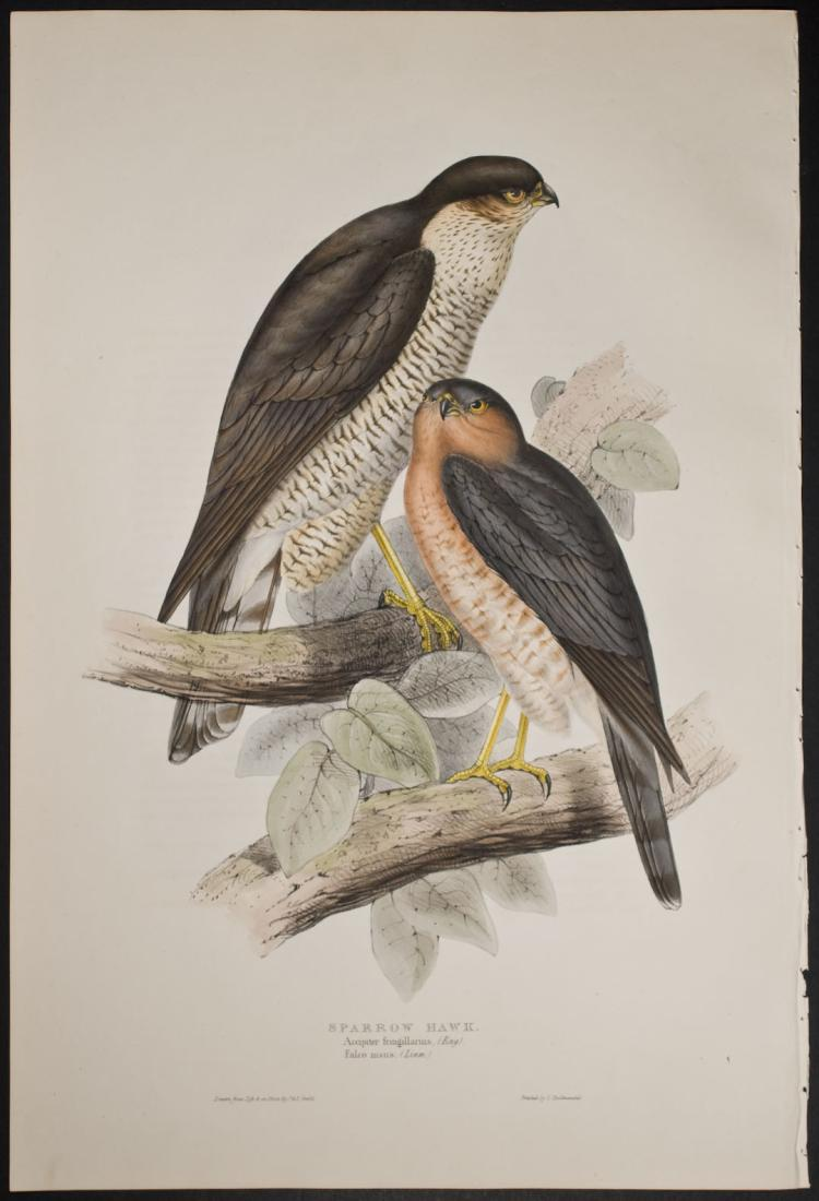 Gould - Sparrow Hawk
