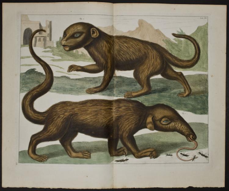 Seba - Anteater. 40
