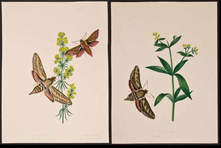 Slaney - Pair of Original Watercolors - Moths & Plants