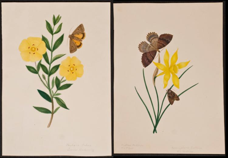 Slaney - Pair of Original Watercolors - Moths & Flowers