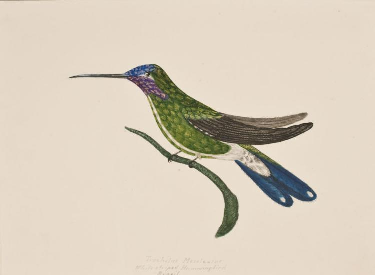 Slaney - Original Watercolor - White-striped Hummingbird