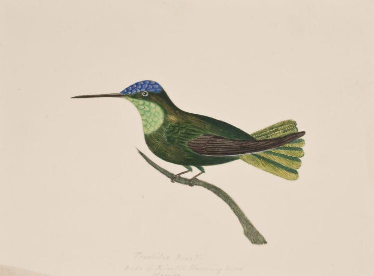 Slaney - Original Watercolor - Duke of Rivoli's Hummingbird