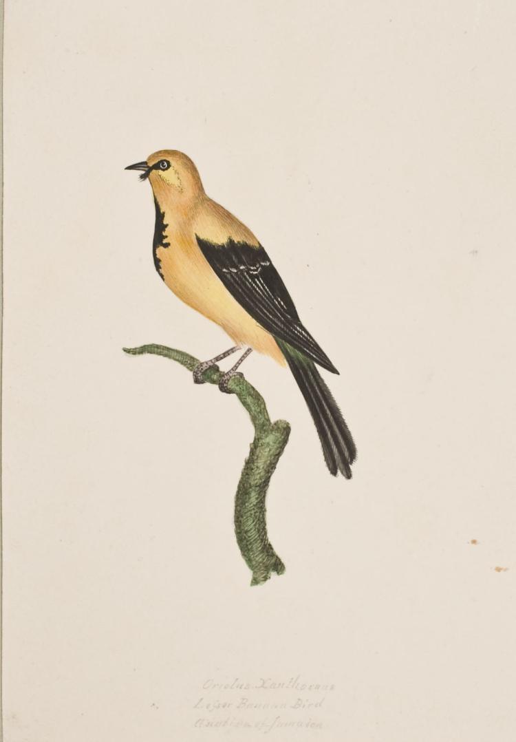 Slaney - Original Watercolor - Oriole or Lesser Banana Bird