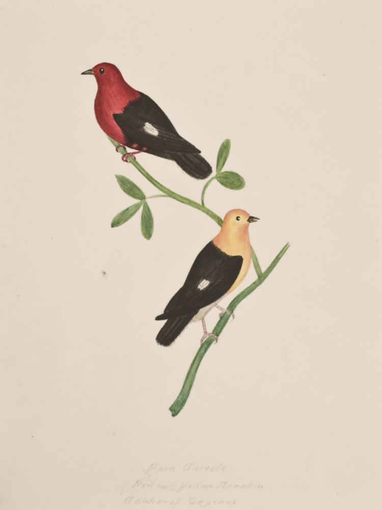 Slaney - Original Watercolor - Red & Yellow Manakin