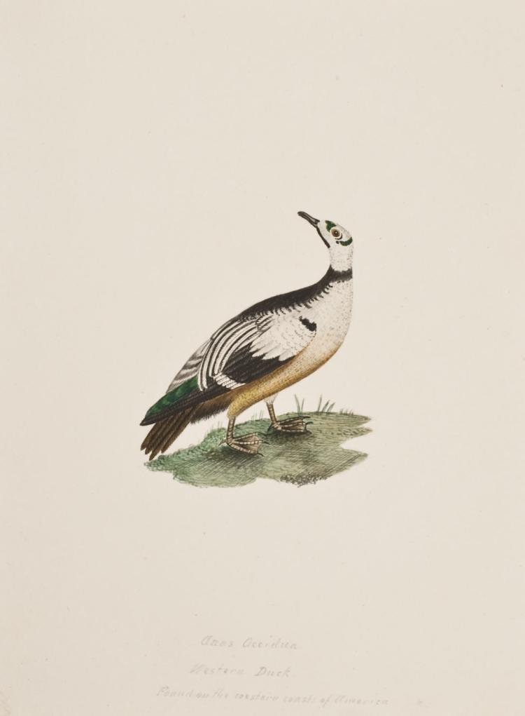 Slaney - Original Watercolor - Western Duck