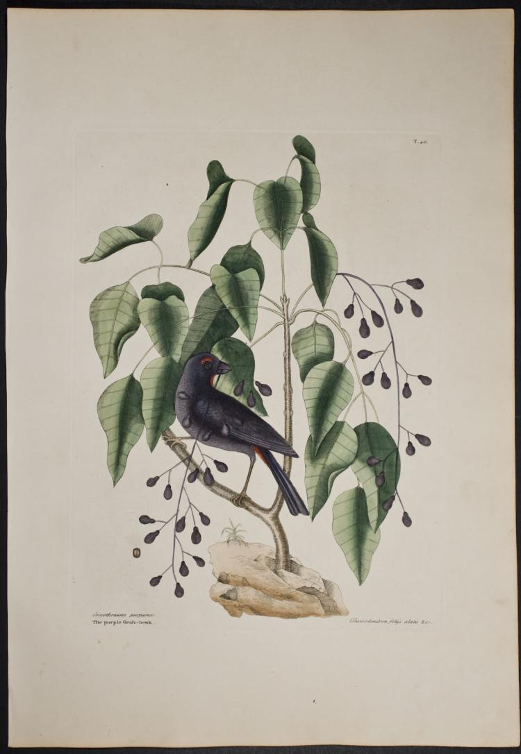 Catesby - Purple Grosbeak. 1-40