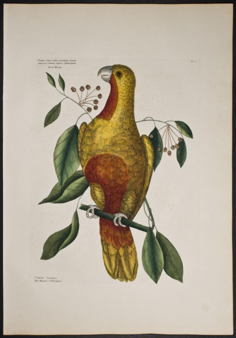 Catesby - Parrot of Paradise (White Headed Amazon). 1-10