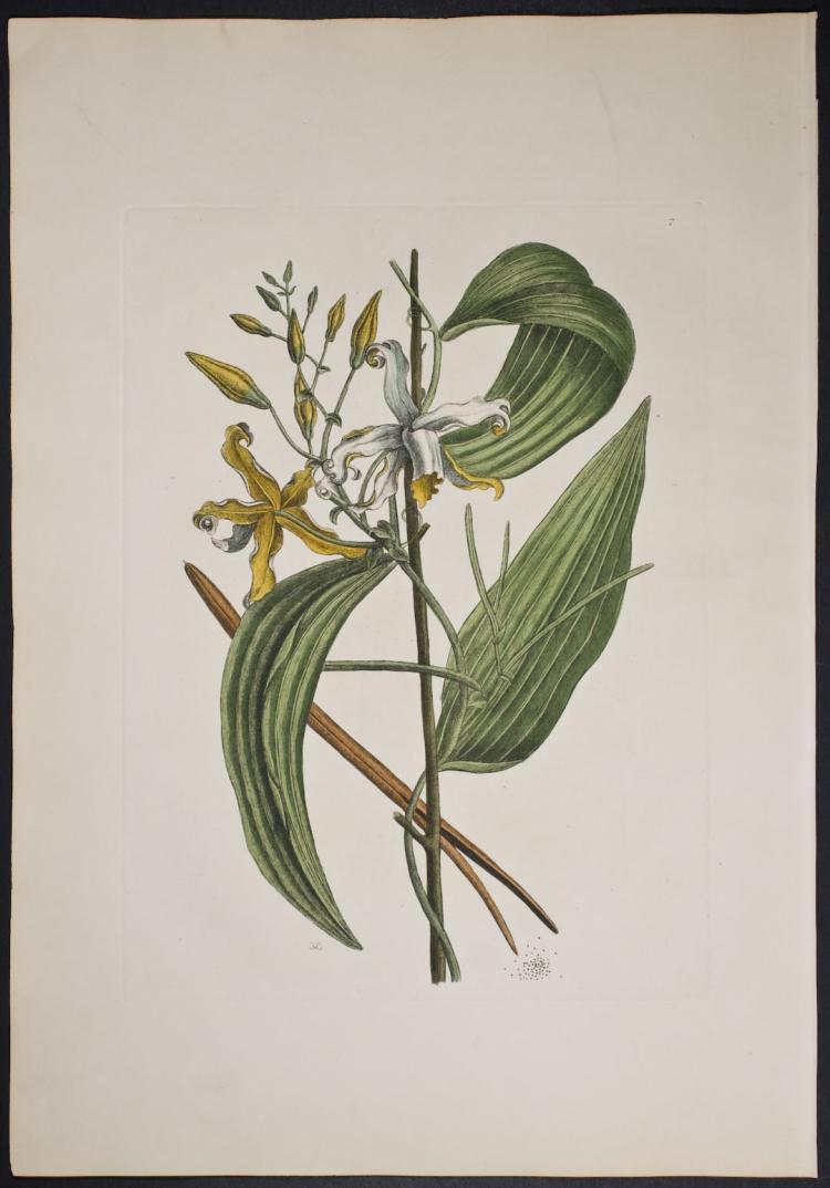 Catesby - Valelloe (Vanilla). 7