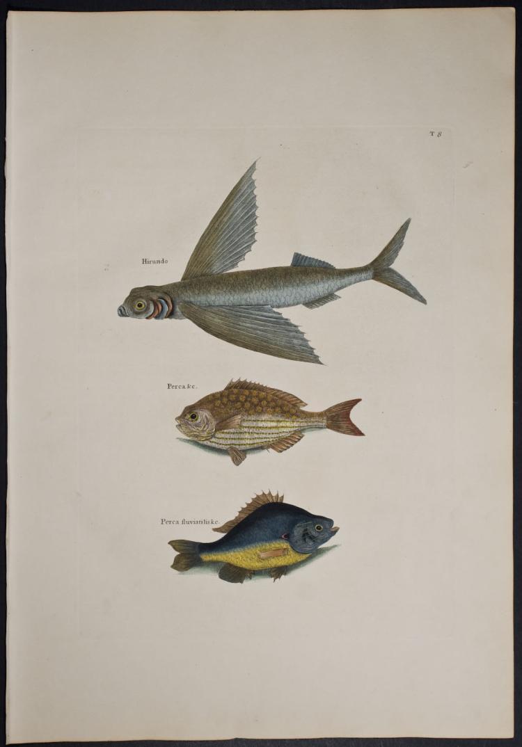 Catesby - Flying Fish, Rudder Fish & Fresh-Water Perch. 2-8