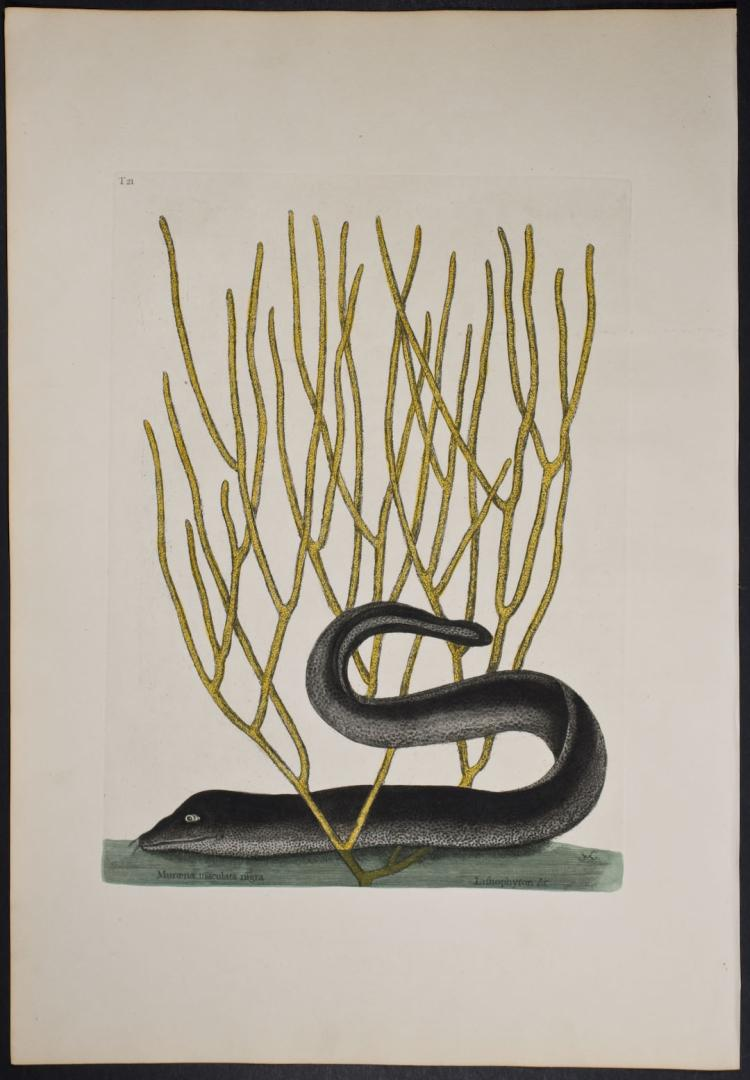Catesby - Black Muray with Yellow Coral. 2-21