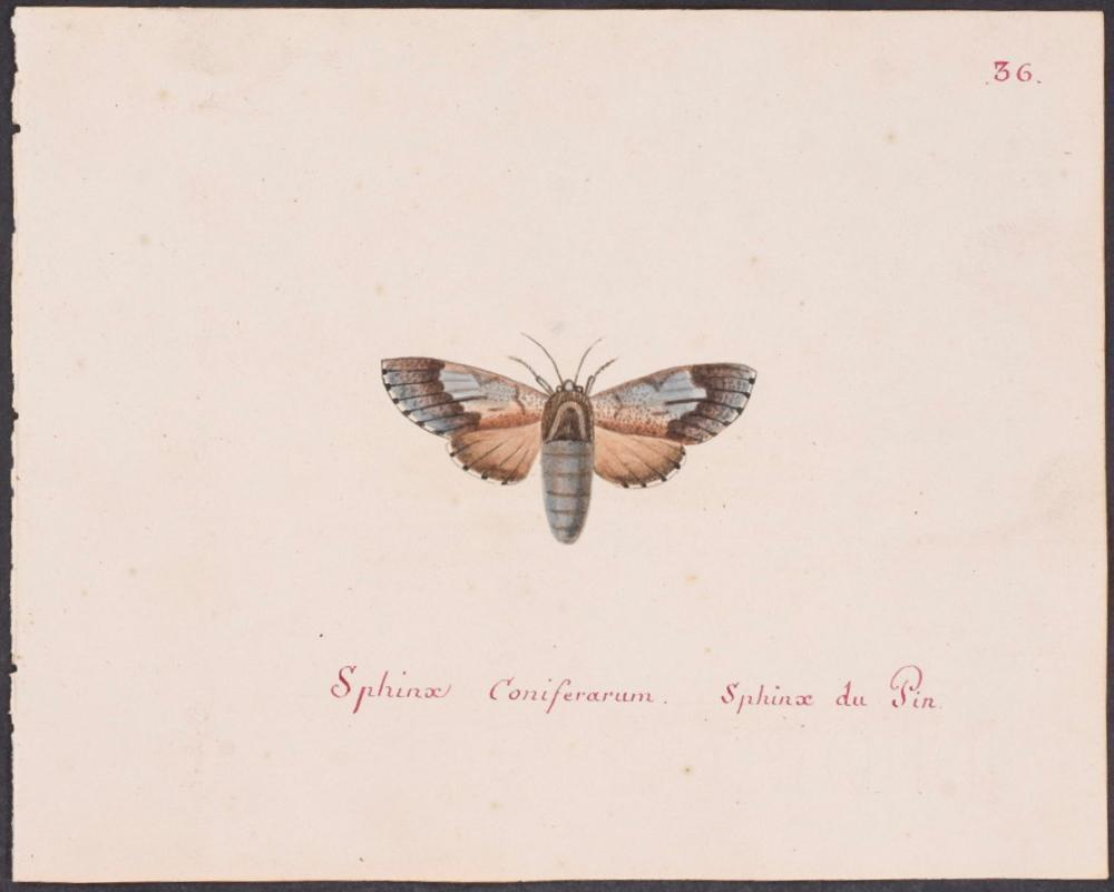 Abbot, Original Watercolor - Moth. 36