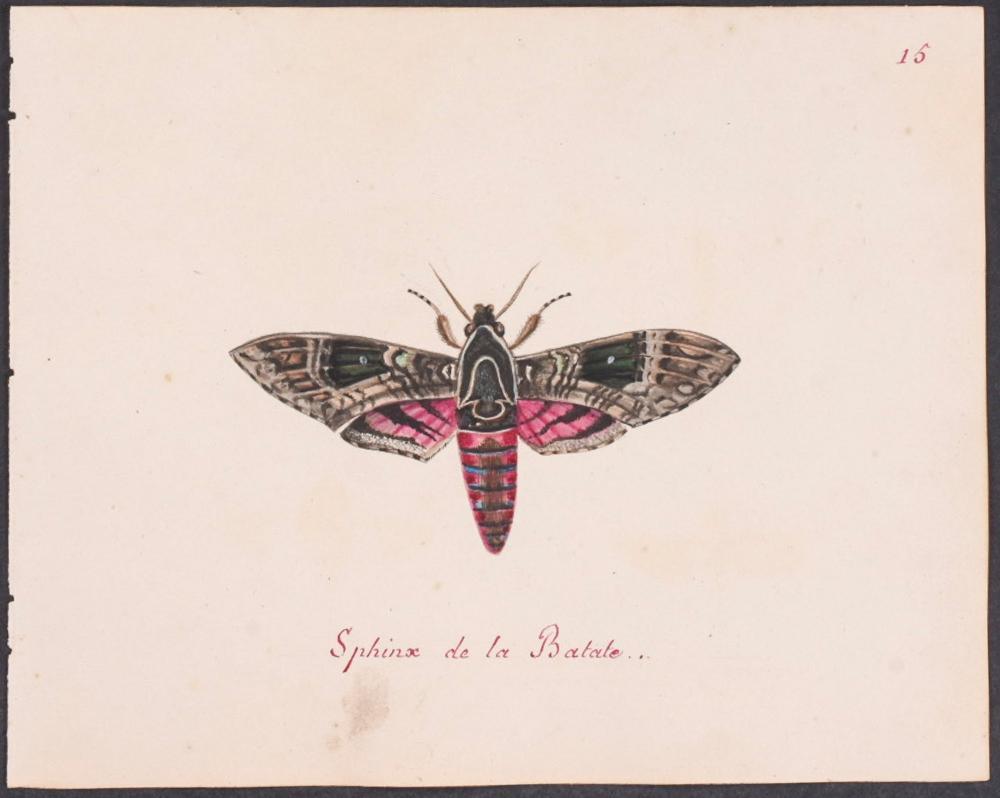 Abbot, Original Watercolor - Sphinx Moth. 15