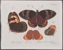 Jablonsky - Butterflies or Moths. 135