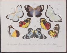 Jablonsky - Butterflies or Moths. 100