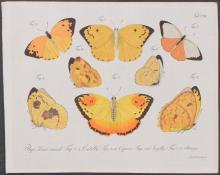 Jablonsky - Butterflies or Moths. 111