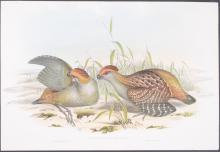 Lot 11041: Gould - Pair of Partridge Lithographs