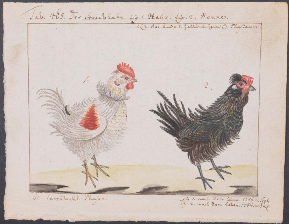 Lot 11066: Carl Linnaeus & Muller - Original Watercolor - Chicken. 465