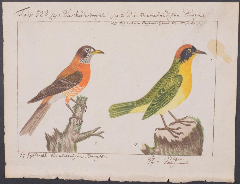 Lot 11063: Carl Linnaeus & Muller - Original Watercolor - Thrush. 528