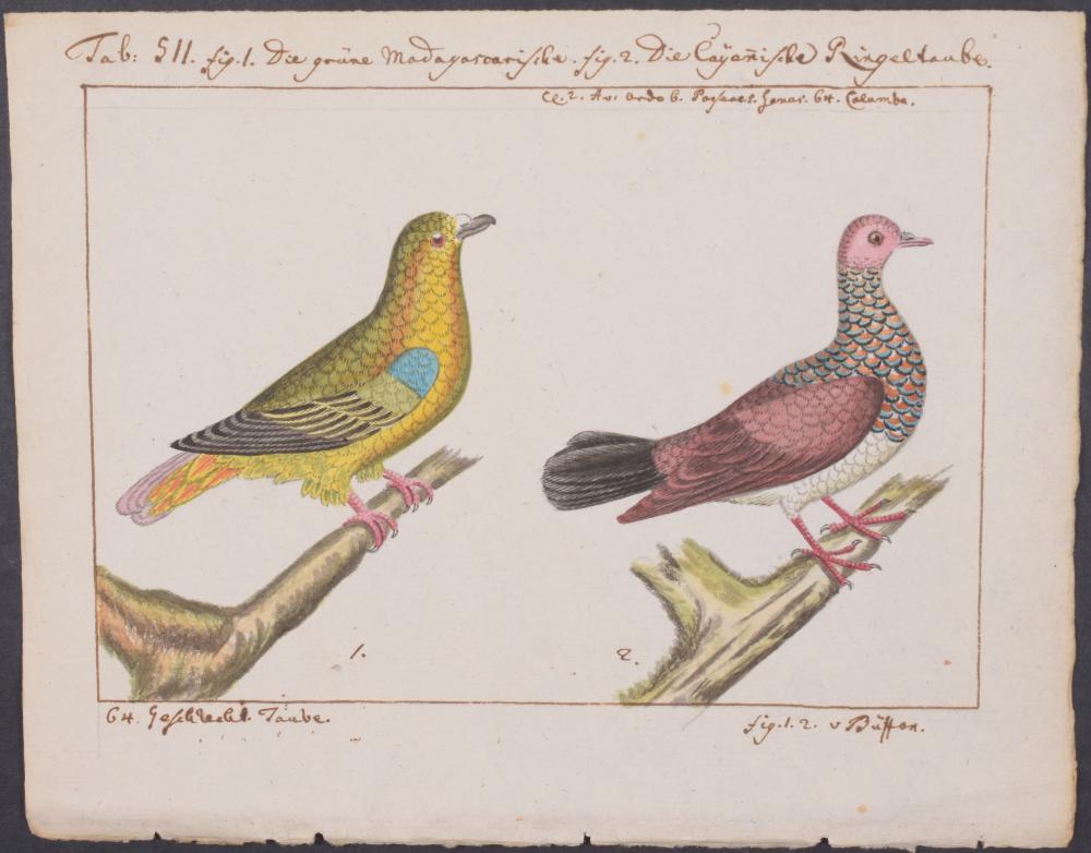 Lot 11062: Carl Linnaeus & Muller - Original Watercolor - Dove. 511