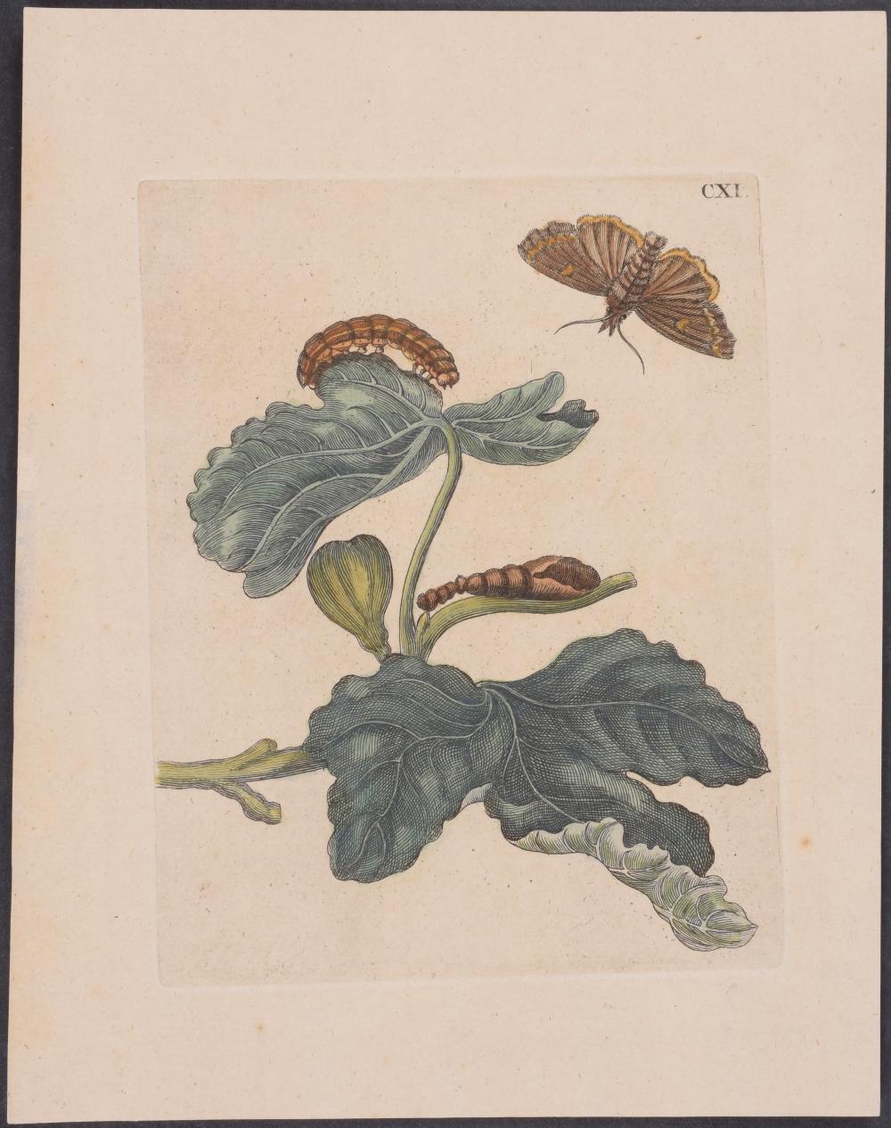 Lot 11056: Merian - 4 Engravings of Moth & Butterfly Metamorphosis