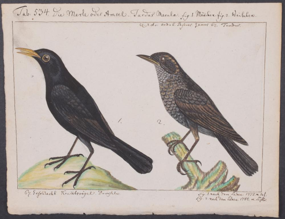 Lot 11059: Carl Linnaeus & Muller - Original Watercolor - Thrush. 534