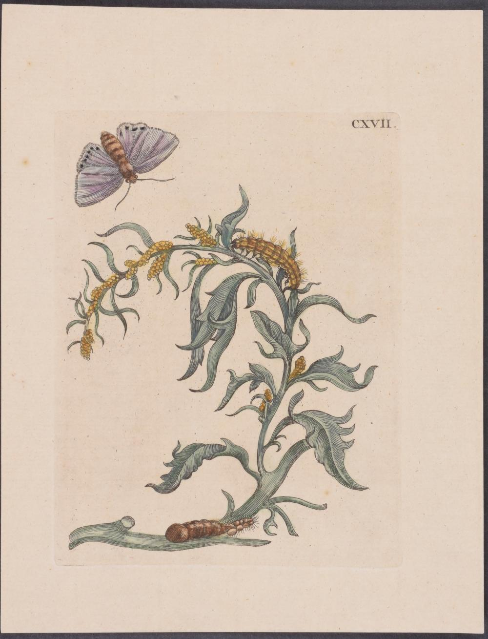 Lot 11058: Merian - 4 Insect & Moth Metamorphosis Engravings