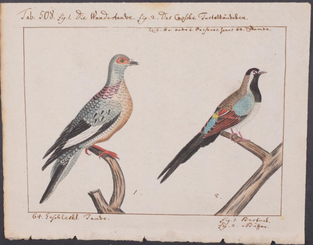 Lot 11060: Carl Linnaeus & Muller - Original Watercolor - Dove. 508