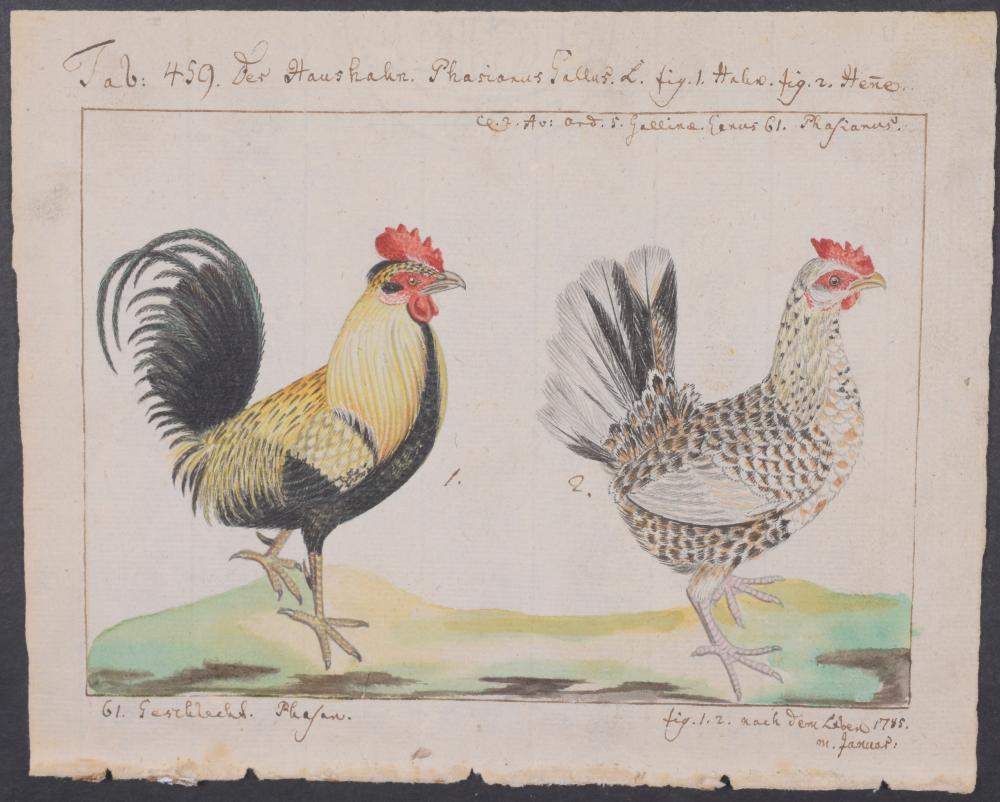Lot 11068: Carl Linnaeus & Muller - Original Watercolor - Chicken. 459