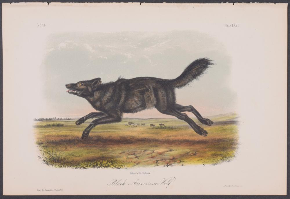 Lot 11072: Audubon - Black American Wolf. 67