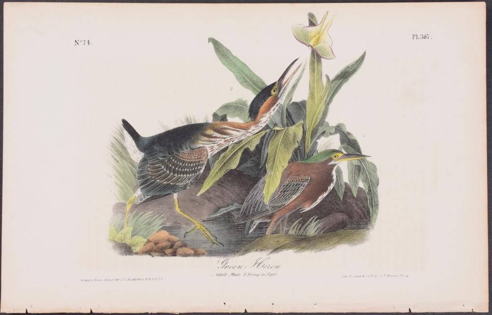Lot 11106: Audubon - Green Heron. 367