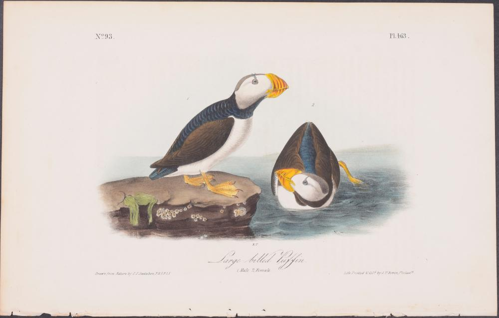 Lot 11108: Audubon - Large-billed Puffin. 463
