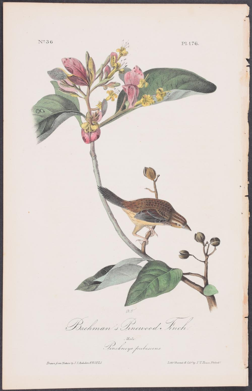 Lot 11104: Audubon - Bachman's Pinewood Finch. 176