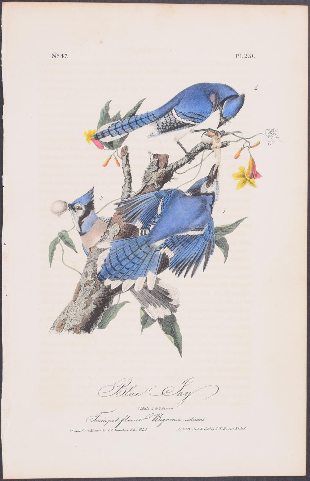 Lot 11113: Audubon - Blue Jay. 231
