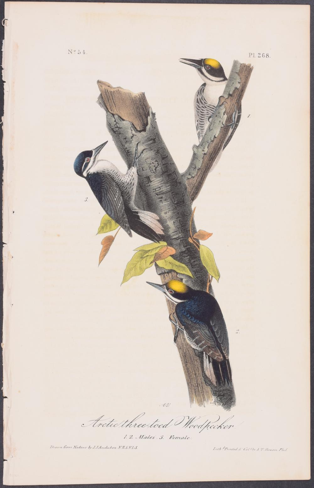 Lot 11103: Audubon - Arctic three-toed Woodpecker. 268