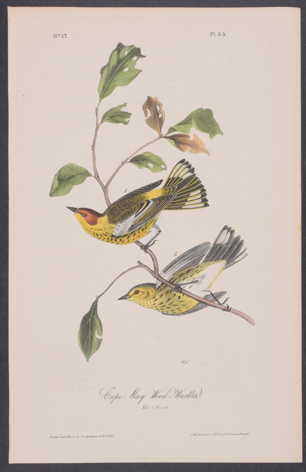 Lot 11101: Audubon - Cape May Wood-Warbler. 85